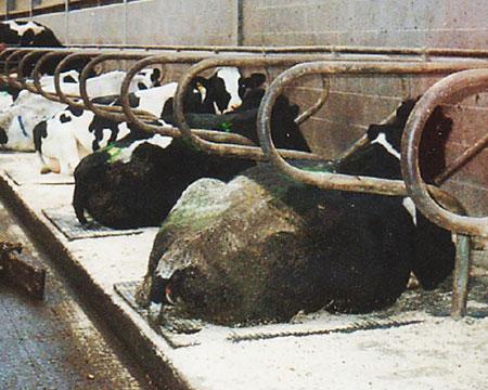 Cow Stall Mats Amp Matting Standard